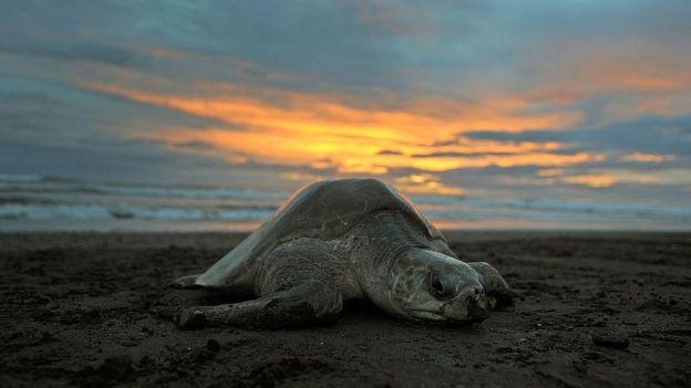 Una tortuga olivácea desova en la playa de Ostional