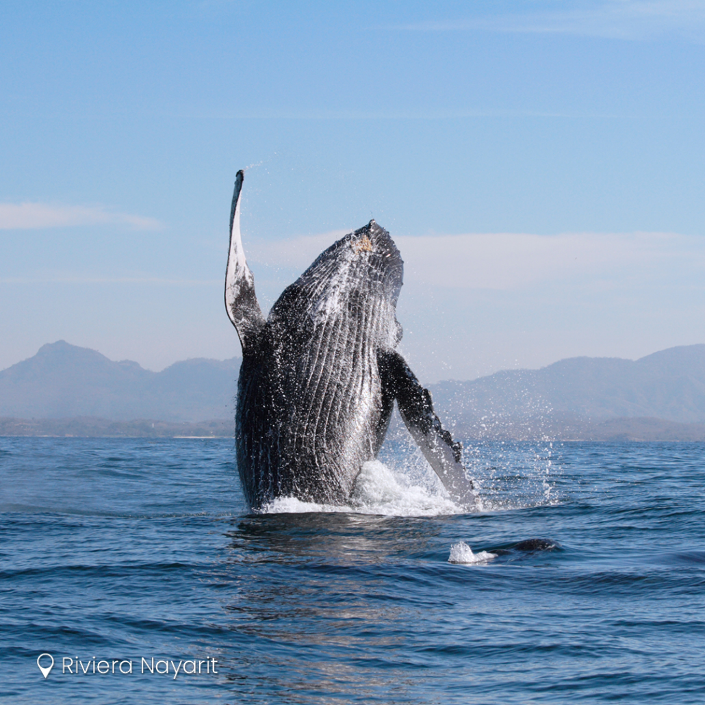 Avistaje de ballenas en Riviera Nayarit