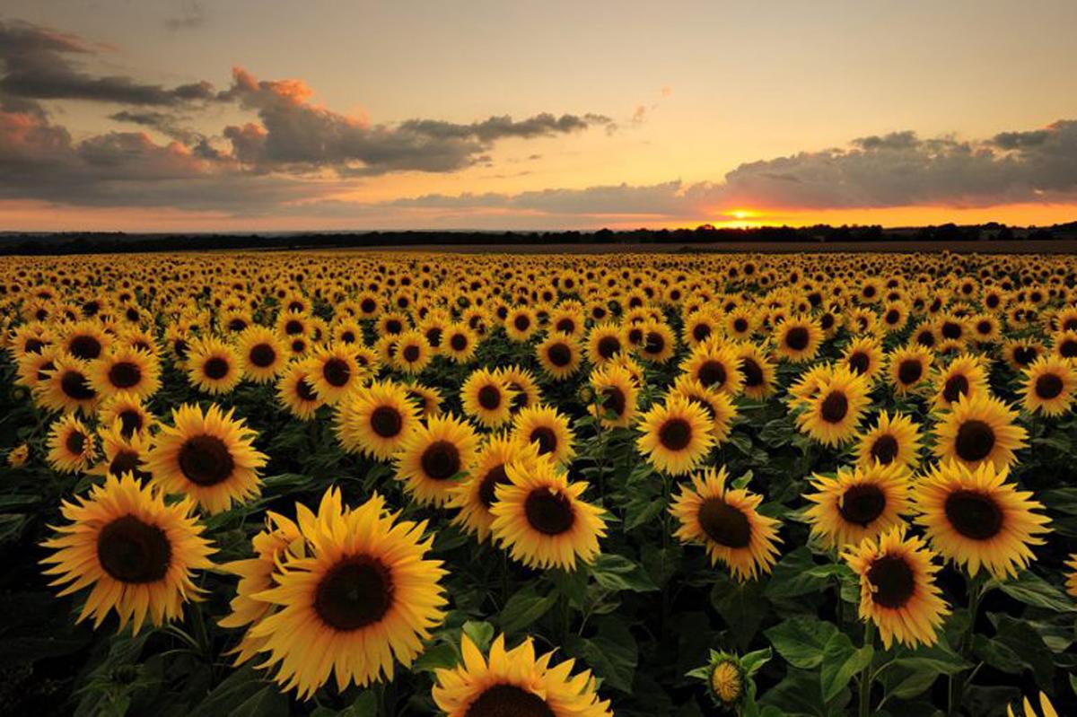 Girasoles, flores que siguen al sol | Acercando Naciones
