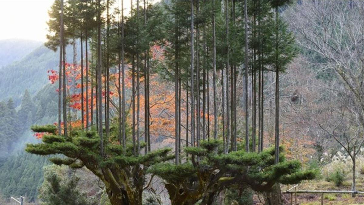 El Daisugi una técnica forestal que permite obtener madera sin talar completamente al árbol