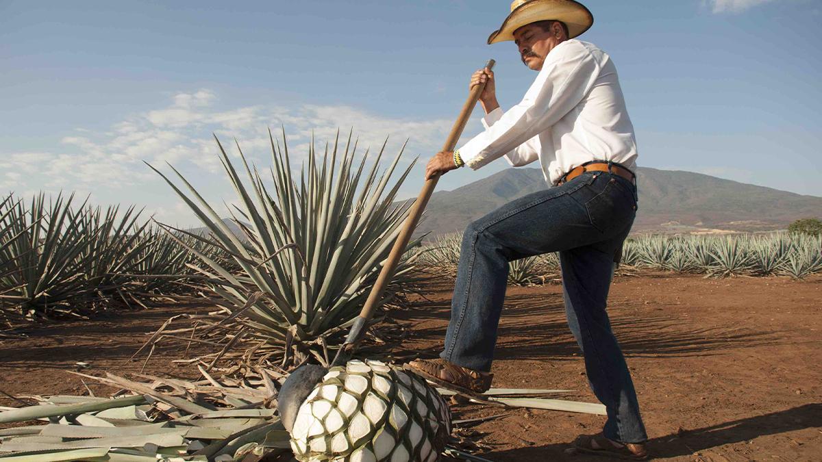 En el estado de Jalisco hay un pueblo con el nombre de Tequila que en lengua nátuahl significa lugar de trabajo.