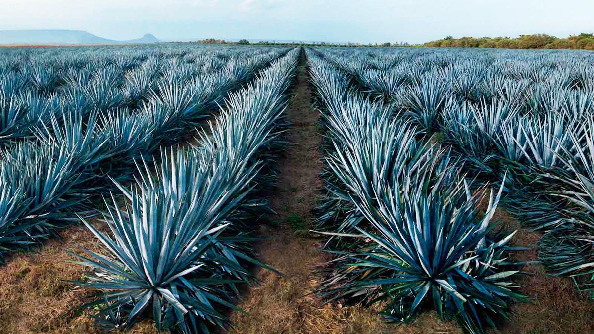 """El tequila es una bebida alcohólica obtenida del destilado,del jugo extraído del agave, en particular el llamado """"Agave Azul"""" (Agave tequilana , variedad Azul)."""
