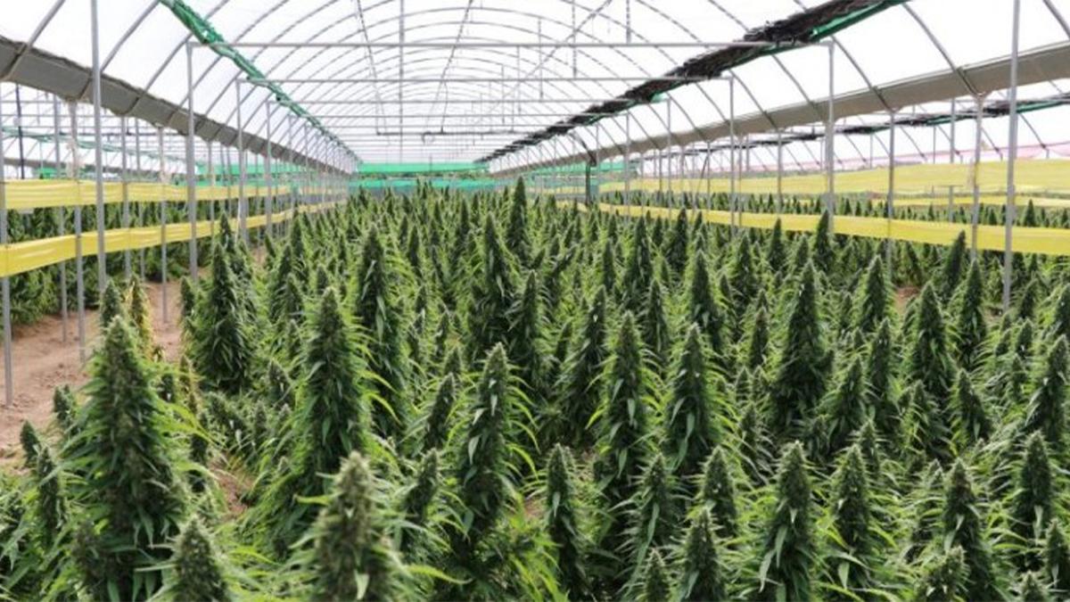Cannabis, ¿industria en desarrollo?