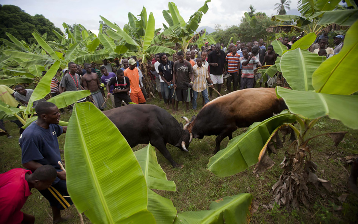 In this Nov. 9, 2014 photo, people gather to watch a fight between bulls that they organized on a banana farm in Leogane, Haiti. Lunging or digging their legs into the soil, the animals battle while men shout and wave money. (AP Photo/Dieu Nalio Chery)