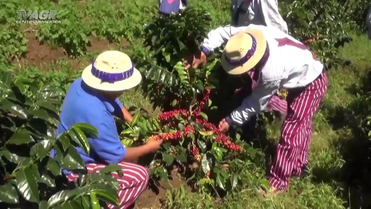 Plantaciones de café de Guatemala